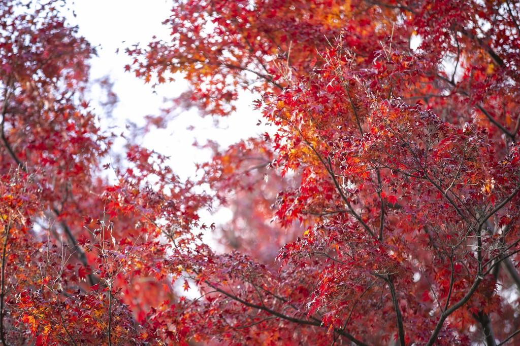 紅葉の鮮やかな赤さと、レンズの持つボケ味を見せる。